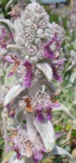 Kwiat czyścca wełnistego